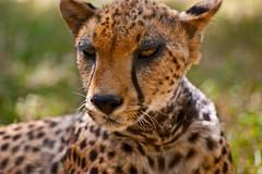 Friendly Old Cheetah