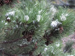 arecales(0.0), tree(0.0), plant(0.0), temperate coniferous forest(0.0), twig(0.0), larch(1.0), flower(1.0), branch(1.0), pine(1.0), flora(1.0), conifer cone(1.0), fir(1.0), spruce(1.0),