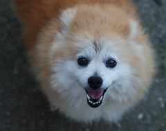 american eskimo dog(0.0), dog breed(1.0), animal(1.0), german spitz klein(1.0), dog(1.0), japanese spitz(1.0), pet(1.0), volpino italiano(1.0), german spitz(1.0), german spitz mittel(1.0), carnivoran(1.0), pomeranian(1.0),