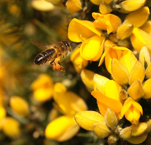 Honey Bee Visiting Gorse To Collect Pollen