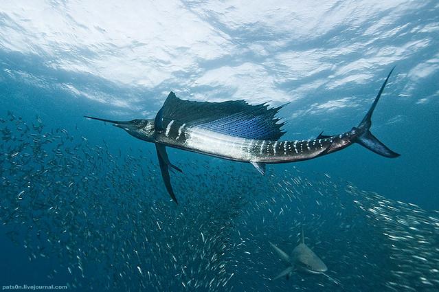 the sardine run #34