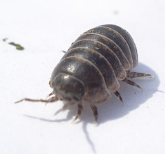 Isopods - Photo (c) Mick Talbot, some rights reserved (CC BY)