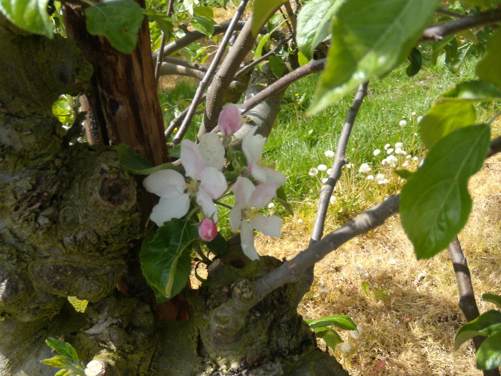 Apple blossom The only apple blossom. Pluckley Circular with extension