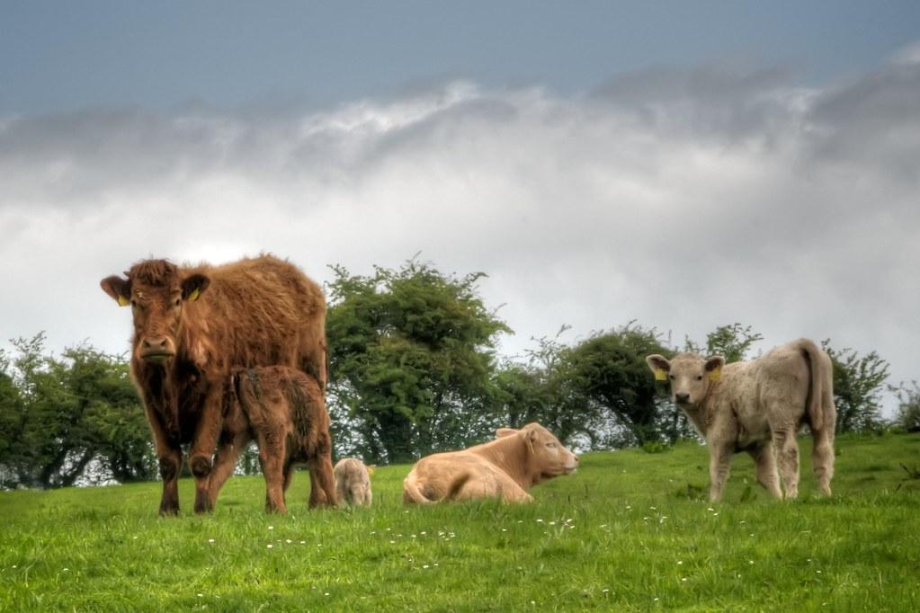 Irish Cows: Distrustful