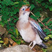 Eurasian Jay: Maaama ... where are you ???