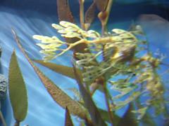 DSC01646-The leafy sea dragon,