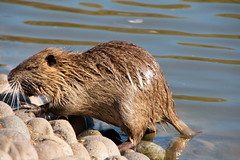 animal, rodent, fauna, muskrat, close-up, capybara, whiskers, beaver, wildlife,