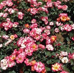 rosa wichuraiana, annual plant, shrub, flower, plant,