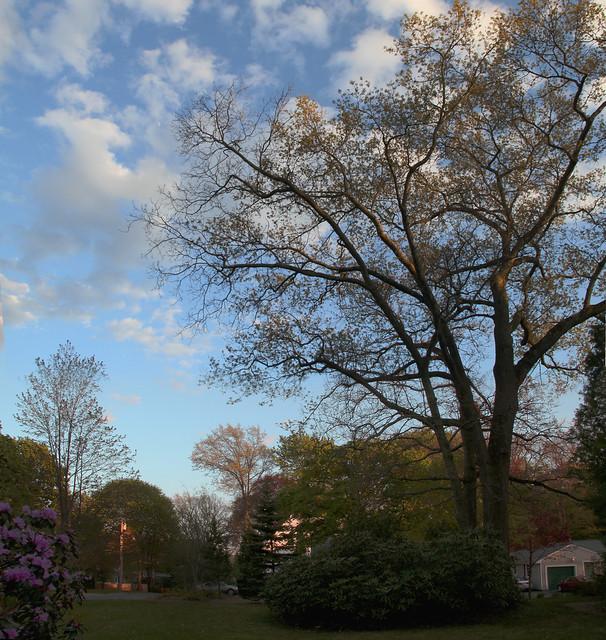 oak trees, 042310 @ 22 parker rd, wakefield, ma
