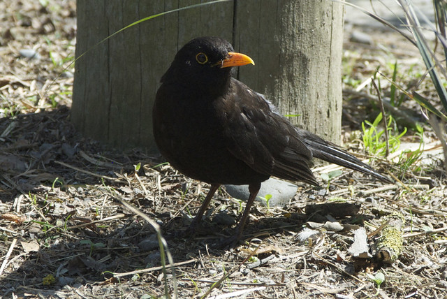 An adult male blackbird