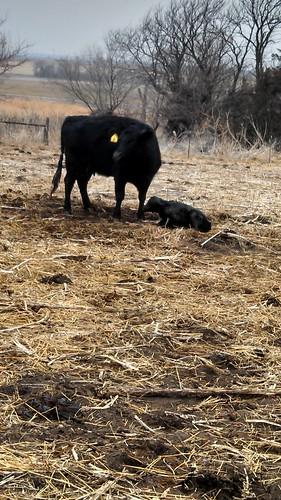Newborn calf 2