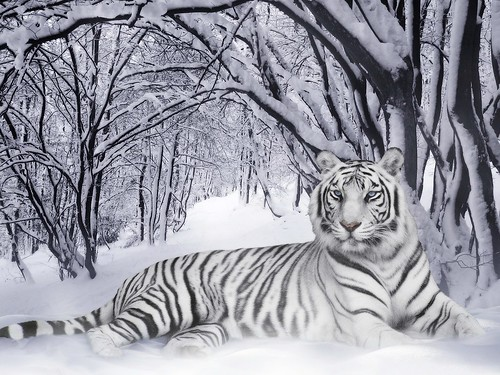ws_White_Tiger_1024x768[1]
