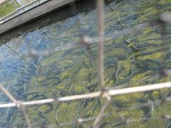Castalia state fish hatchery a set on flickr for Fish hatchery ohio