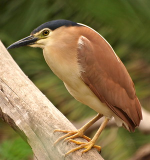 Nankeen Night Heron - With Two Legs!