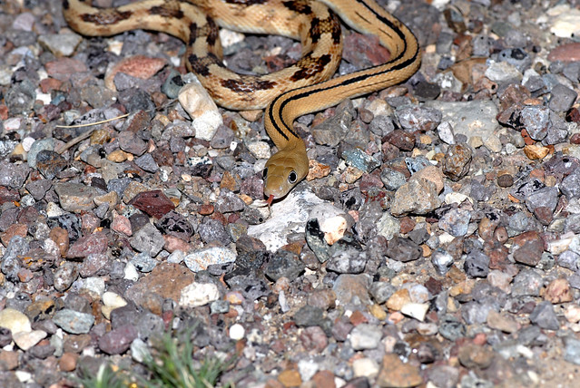 Nocturnal snakes flickr photo sharing Garden snakes in texas