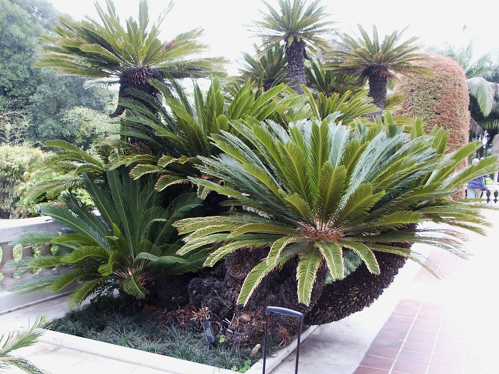Cycas Revolta, Sago Cycad Palm, Entry Garden at Art Museum, Huntington Library