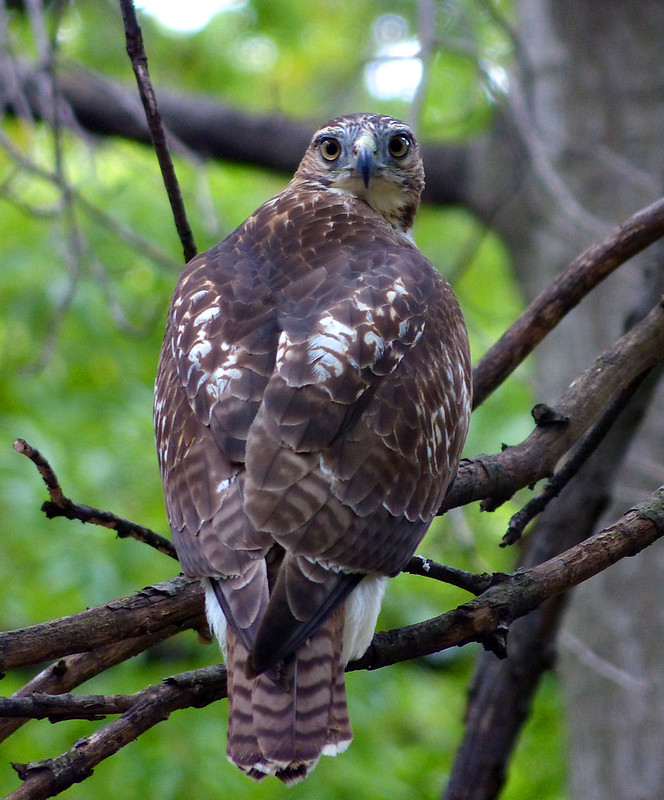 Tagged hawk in Tompkins Square Park