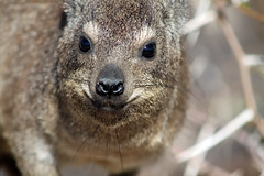 wallaby(0.0), wombat(0.0), koala(0.0), animal(1.0), zoo(1.0), marsupial(1.0), mammal(1.0), fauna(1.0), close-up(1.0), whiskers(1.0), wildlife(1.0),