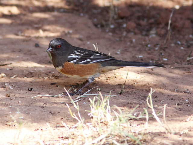 Spotted Towhee 3-20131102