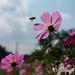 蜜に惹かれて - Cosmos and bee -