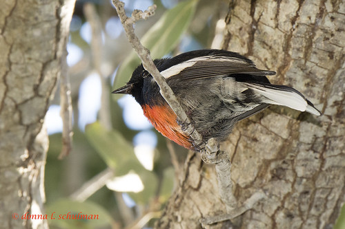 Texas: Painted Redstart 1