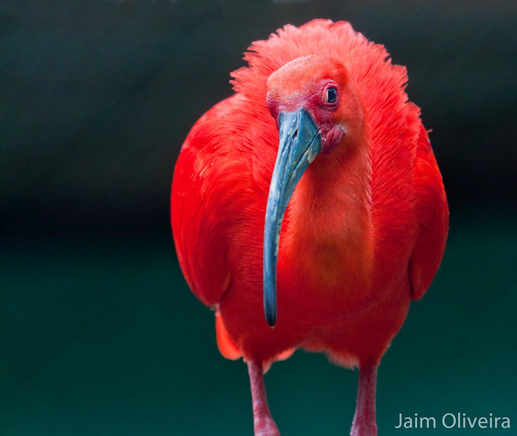 Червоний ібіс - все про тварин