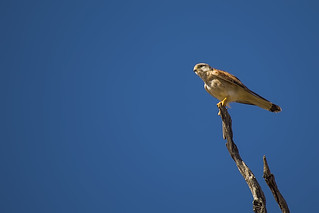 Watchful Kestrel