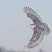 snowy owl by tapervern