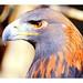 Golden Eagle by SmokinToast