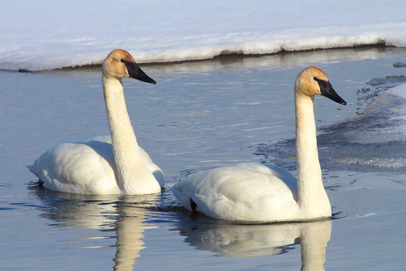 IMG_1169 Trumpeter Swan