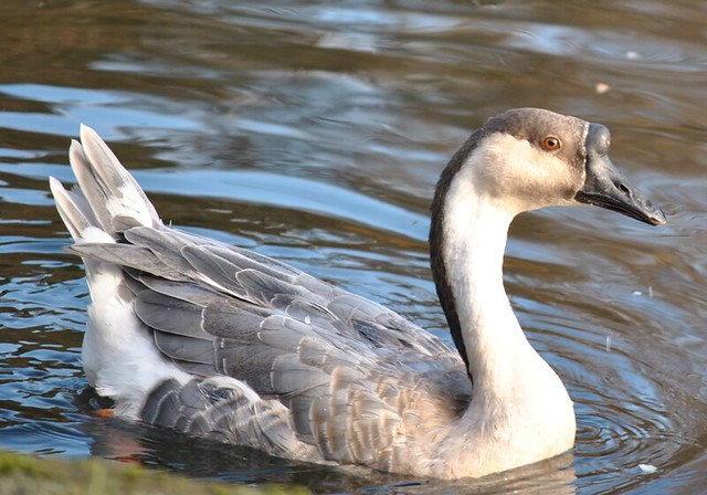 African goose vs chinese goose - photo#24