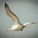 bird_in_flight_3