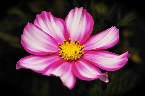Cosmos (Cosmos sp., Asteraceae)