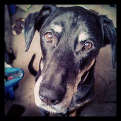 Lola says Good Morning Instagram! #dogstagram #dobermanmix #instadog #ilovemydogs #dobiemix #adoptdontshop #Rescued