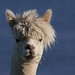 affable alpaca by glenfinlas