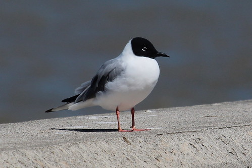 Bonaparte's Gull by ricmcarthur
