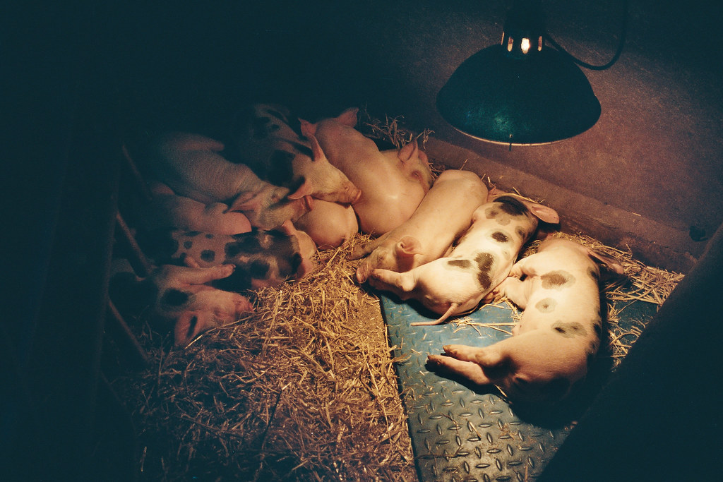 pigs under a heat lamp
