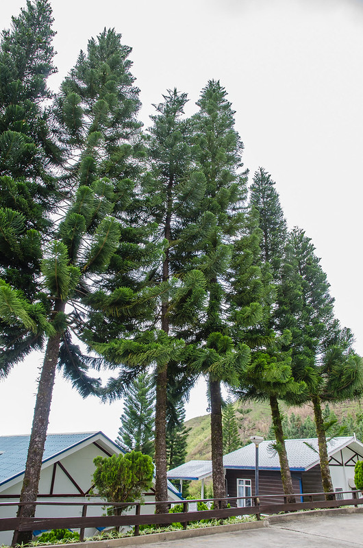 Pine trees at Kinabalu Pine Resort at Kundasang