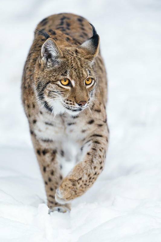 Lynx walking on the snow