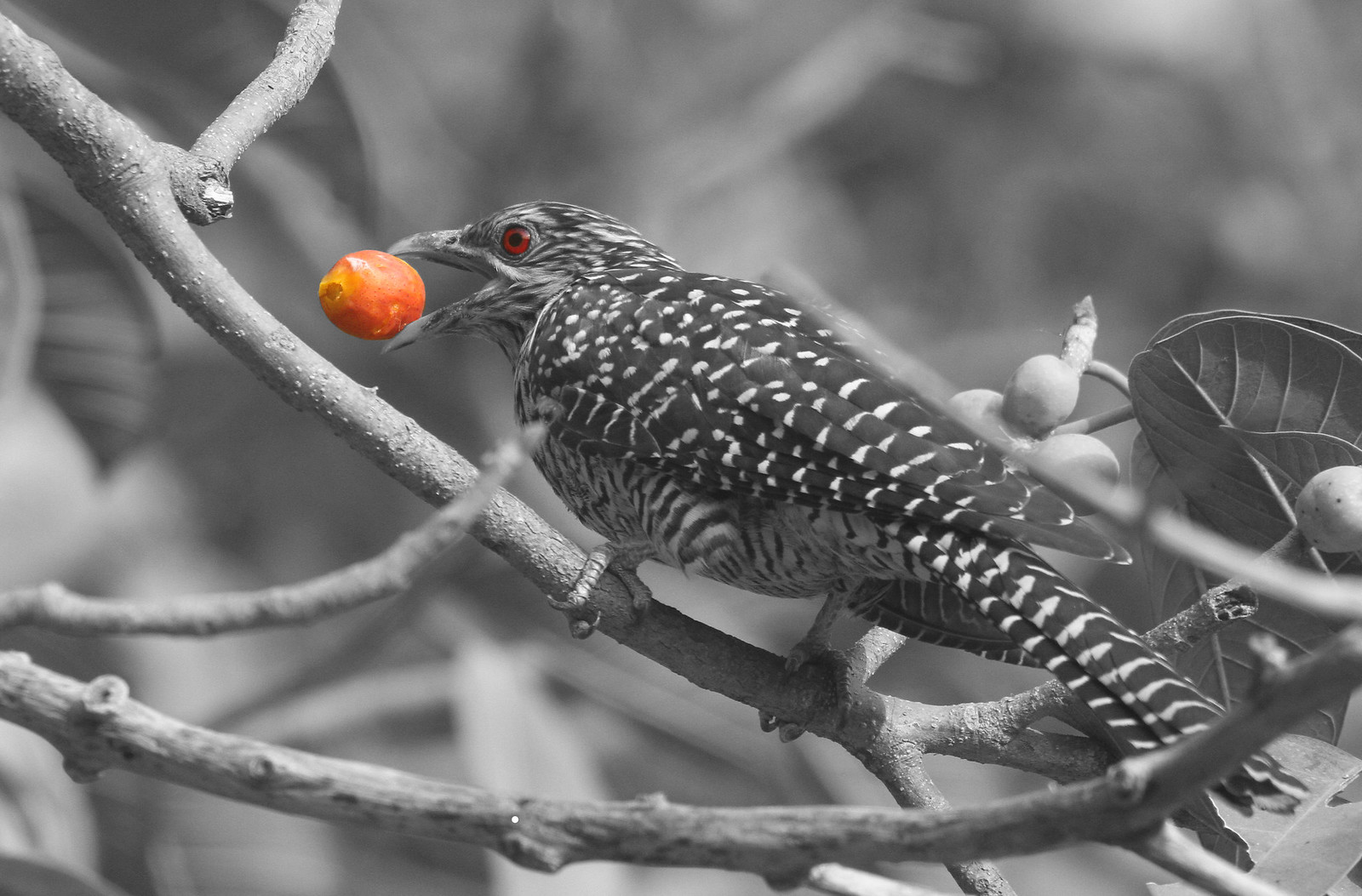 Koel BW with layer mask effect_Crop