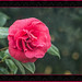 Red Camellia Textured  (Adolphe Audusson) by KaCey97007