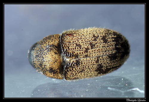 Hylesinus fraxini