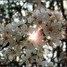 sakura kissed by sunshine ✿☀❀ by Ola 竜