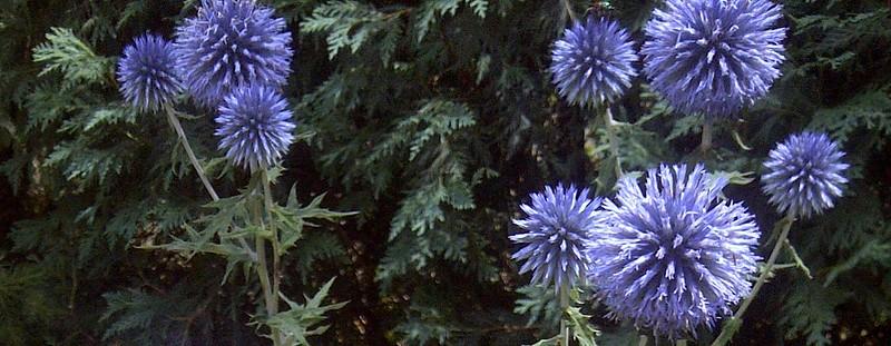 Globe Flowers