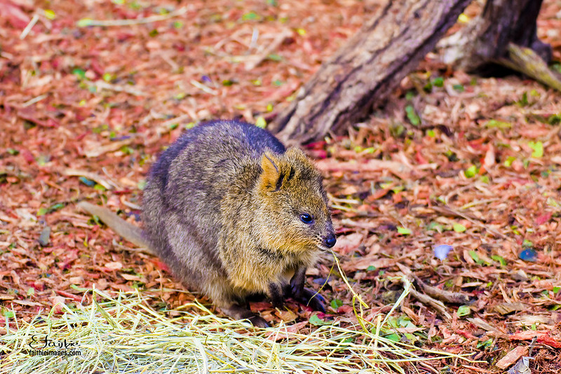 sweet looking Quokka, also called the happiest animal on Earth