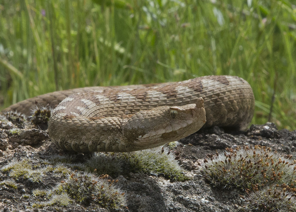 Northern Horned Viper 2014-05-18 (6)