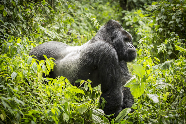 mountain gorilla in Virunga park, Congo