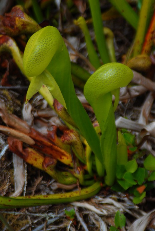 Darlingtonia californica (cobra lily) mustached plants
