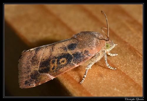 Cosmia affinis