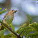 Veery by Jim McCree